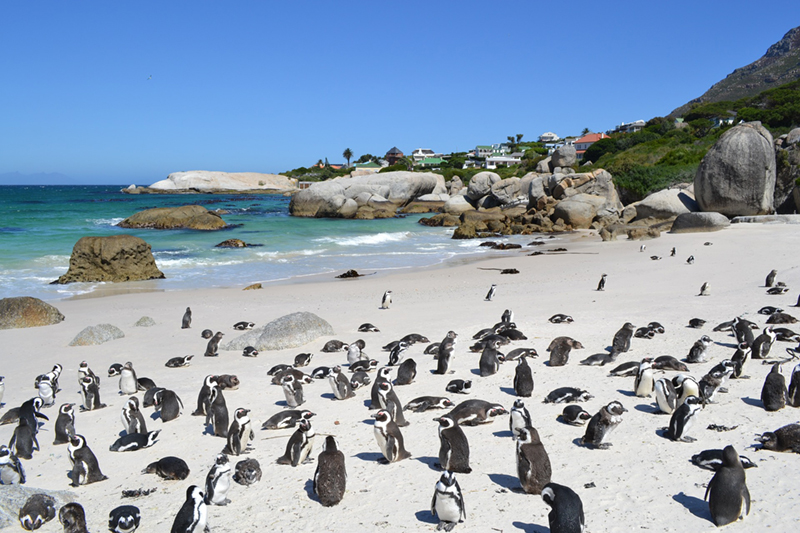 penguins_southafrica_800